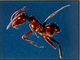 Argentine Ant, shiny brown ant