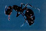Small little ant black in color